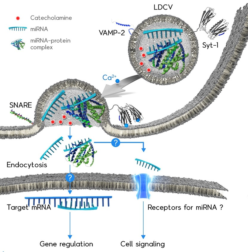 <p>Although microRNA (miRNA) regulates gene expression inside the cell where they are transcribed, extracellular miRNA has been recently discovered outside the cells, proposing that miRNA might be released to participate in cell-to-cell communication (Front Endocrinol. 2017).</p> <p>My group first reported the active exocytosis of miRNAs independently of exosomes in response to neuronal stimulation.</p> <p>We propose a new function of non-coding RNAs named ('ribomone' = ribonucleotide + hormone), and suggest that miRNAs may function as hormones; i.e., miRNA is stored in vesicles and released by vesicle fusion in response to stimulation, thereby contributing to cell-to-cell communication.</p>
