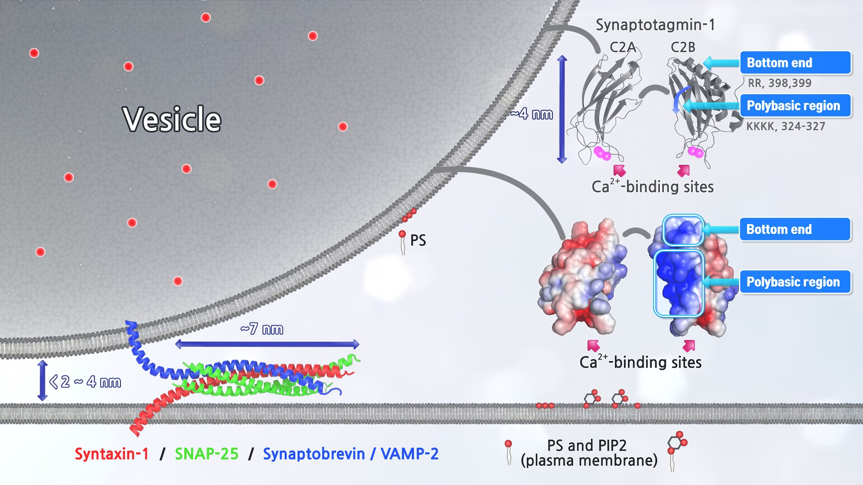 <p>1. We study microRNA exocytosis by LDCV fusion. Our research and data are opening the new field and concept that microRNA can be a novel neuromodulator, which is stored inside the vesicle and released together with classical neurotransmitters by vesicle fusion, thereby contributing to cell-to-cell communication.</p> <p>2. My group aims to investigate the molecular mechanisms of vesicle fusion by combining interdisciplinary techniques that include cell biological, biophysical, and biochemical tools.</p> <p>3. We focus onneuronal differentiation of human induced pluripotent stem cells (hiPSC) as a disease model of autism and neurodegenerative disorders.hiPSCs-derived neurons can be used for personalized medicine to cure autism andneurodegenerative disorders.</p>
